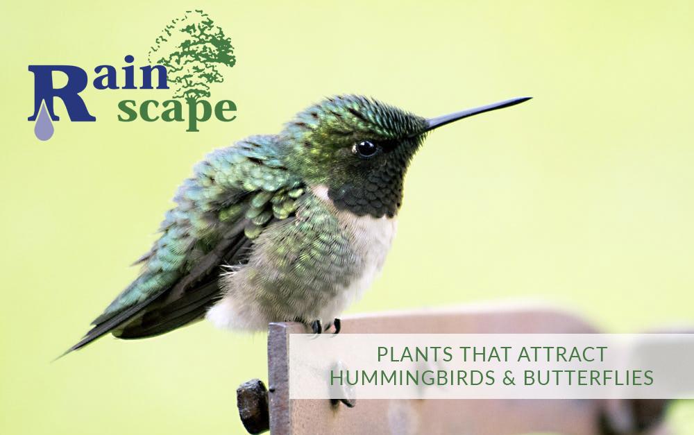 Plants that attract hummingbirds & Butterflies   Landscape Designers Visalia