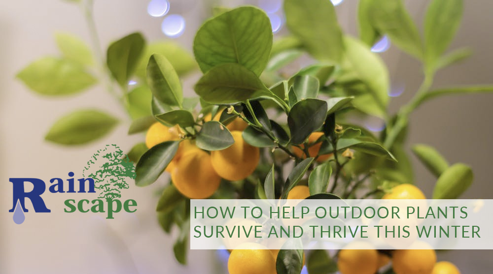 How to help outdoor plants survive and thrive this winter