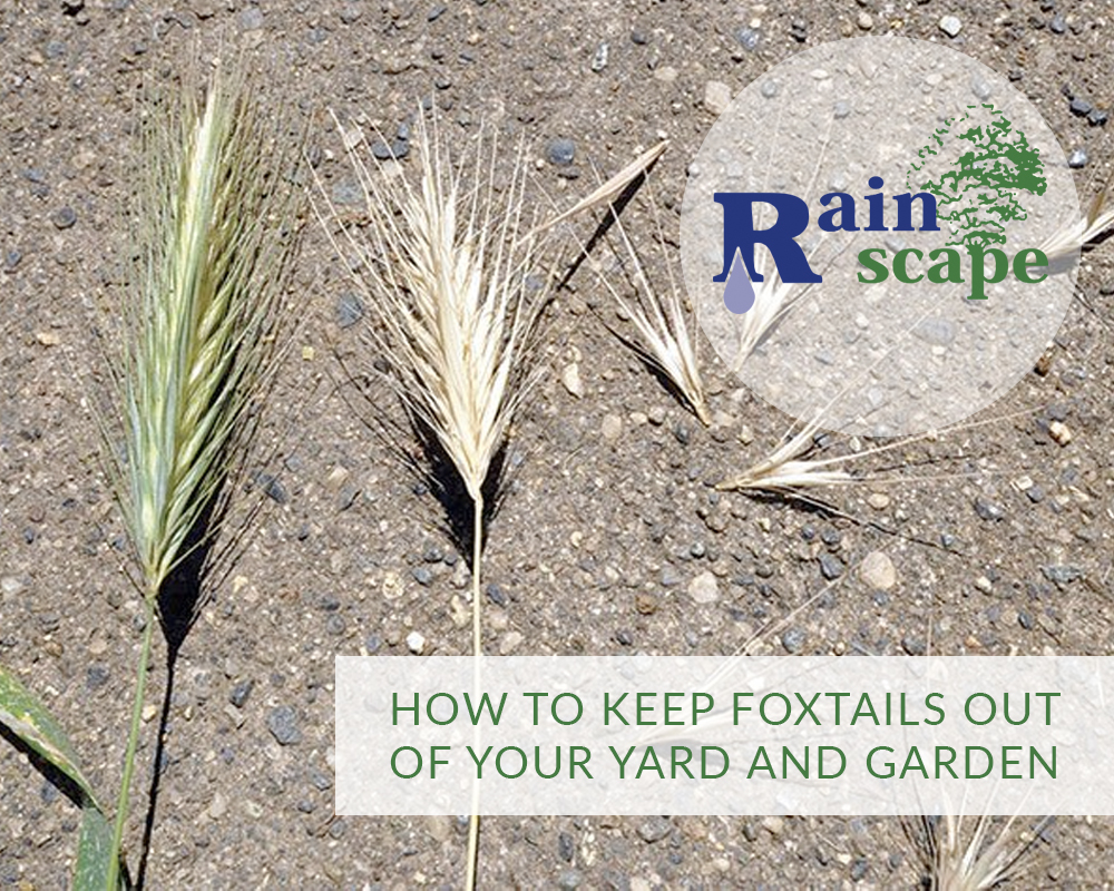 How To Keep Foxtails Out Of Your Yard